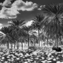schwarz-weiss-mausfeld-palmenwiese